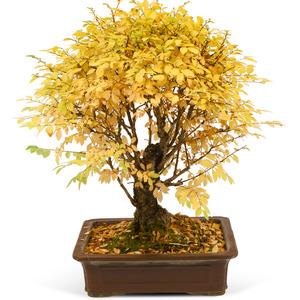 ★단풍나무(가을상품)